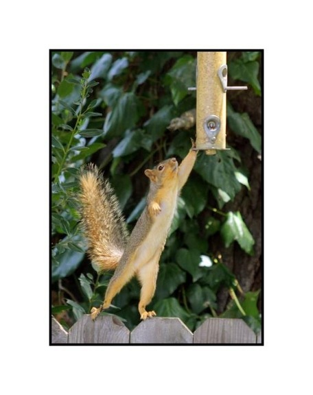 Max_height_squirrel