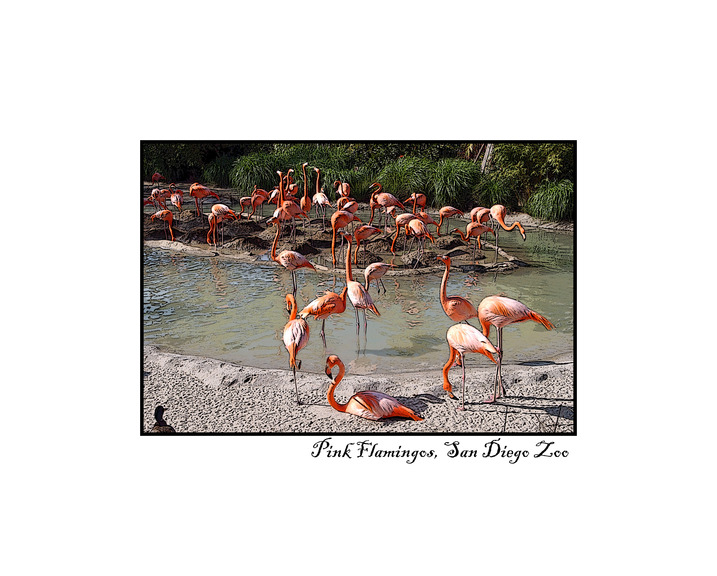 Max_height_flamingos